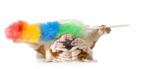 úklid po psovi - anglický buldok vzhůru nohama drží péřovou prachovku na bílém pozadí
