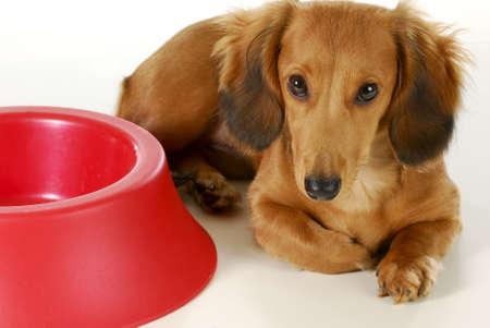 dog waiting to be fed - long haired miniature dachshund sleeping beside empty dog food dish isolated on white background Stock Photo