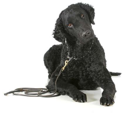 Curly Coated Retriever auf einem Leder-Leine und Dressurhalskette isoliert auf wei?em Hintergrund