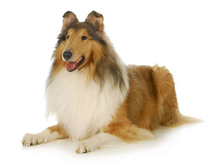 long haired: collie - rough coated collie laying down with tongue out panting isolated on white background