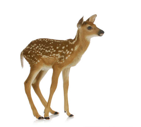 full length herbivore: fawn standing isolated on white background Stock Photo