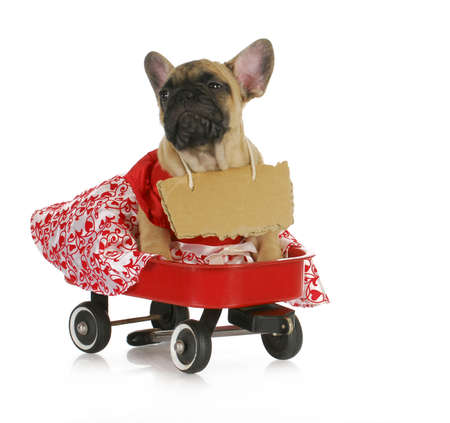 female french bulldog with a riding in a wagon isolated on white background photo