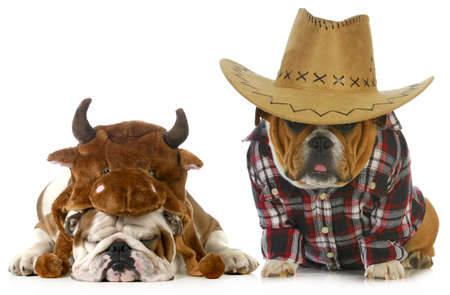 country dog - english bulldog dressed up like a farmer and a bull isolated on white background  photo