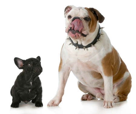 spiked: big and small dog - small french dog looking up to big english dog licking lips wearing spiked collar Stock Photo