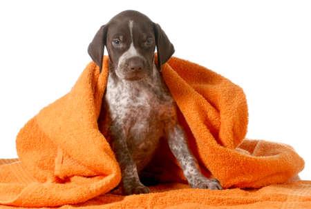 犬のお風呂 - ドイツ ・ ショートヘアード ・ ポインターを得るオレンジ色のタオルで乾燥しました。 写真素材