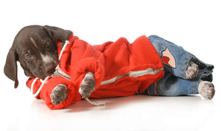 grung: cool dog - german shorthair pointer puppy wearing jeans and a hoodie laying down isolated on white background