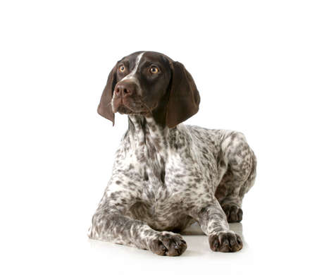 german shorthair pointer laying down isolated on white background photo