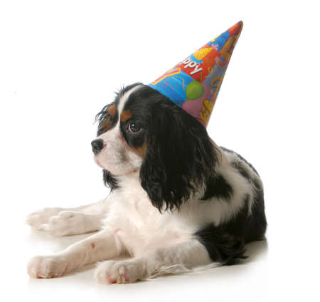 birthday dog - cavalier king charles spaniel wearing birthday hat isolated on white background photo