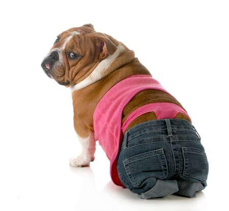 female dog wearing pink thong underwear isolated on white background - english dog Stock Photo - 18704407