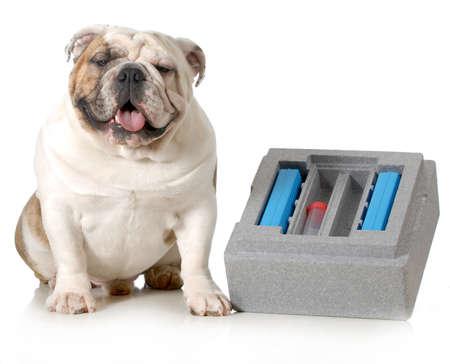 semen: allevamento del cane - inglese cane seduto accanto contenitore per la spedizione di sperma fresco isolato su sfondo bianco