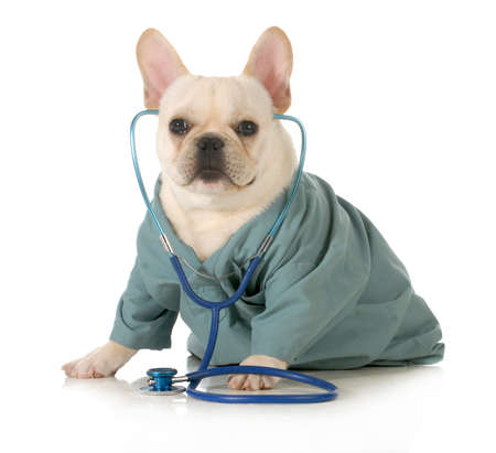 veterinary care - french dog dressed up like a vet wearing a stethoscope isolated on white background  photo