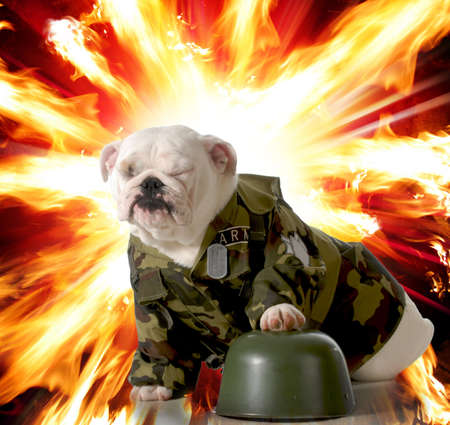 army camo: military dog - english dog dressed up in army camo with explosion in the background
