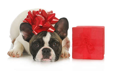 birthday gift: dog and present - french dog with red bow on head laying beside red gift box on white background Stock Photo