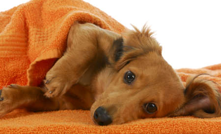 long haired: dog bath - long haired dachshund being dried off with orange towel on white background