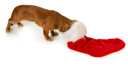 snooping: christmas dog - miniature dachshund with head inside stocking isolated on white background