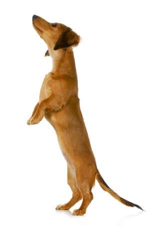 dog begging - long haired dachshund jumping up isolated on white background photo