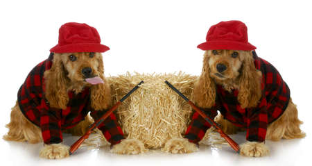 cap hunting dog: hunting dogs - two american cocker spaniels dressed up in plaid shirts with hunting guns isolated on white background