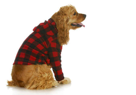 cocker spaniel wearing dog coat sitting side profile isolated on white background photo