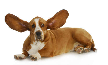Hund listening - Basset Hound mit Ohren hören