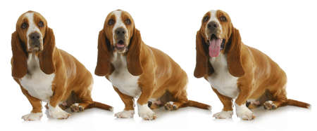 basset hound with three different expressions isolated on white background photo