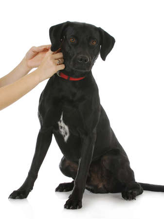 affix: woman putting collar on black lab cross dog isolated on white background Stock Photo
