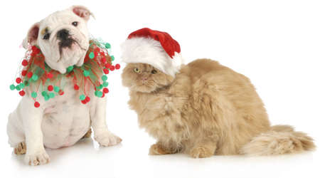 pampered pets: christmas pet - english bulldog and a cat sitting isolated on white background
