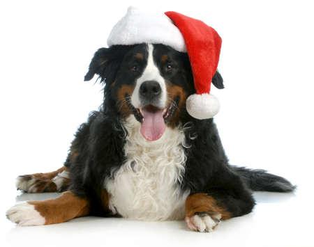 mountain dog: santa dog - bernese mountain dog wearing santa hat on white background Stock Photo