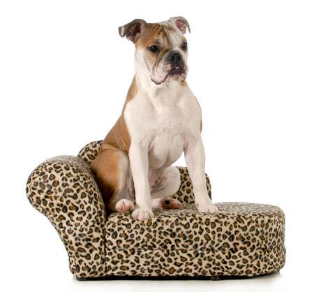 dog sitting on couch - english bulldog sitting on couch isolated on white background photo