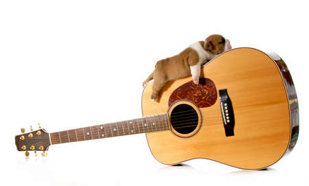 puppy sleeping on guitar - english bulldog puppy 3 weeks old photo