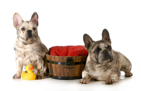 dirty dogs - two french bulldogs ready for a bath isolated on white background photo