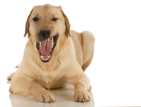 dog growling looking at viewer isolated on white background photo