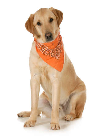 bandana: cute dog - labrador and golden retriever cross wearing orange bandana sitting looking at viewer on white background