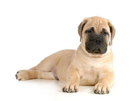 bullmastiff: cute puppy - bullmastiff puppy laying down looking at viewer isolated on white background - 8 weeks old Stock Photo