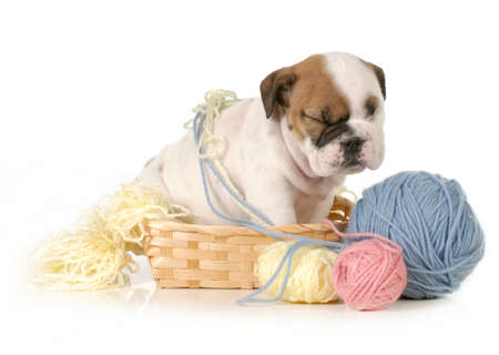 mess: cute puppy sitting in basket of knittng isolated on white background - english bulldog puppy  Stock Photo