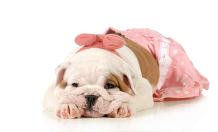 cute puppy - female english bulldog puppy wearing pink laying down isolated on white background - 8 weeks old photo