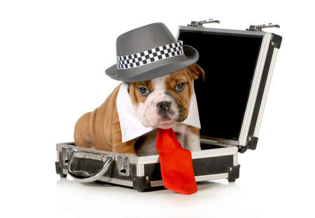 fedora hat: business puppy - english bulldog dressed up like a business man sitting inside briefcase isolated on white background - 7 weeks old Stock Photo