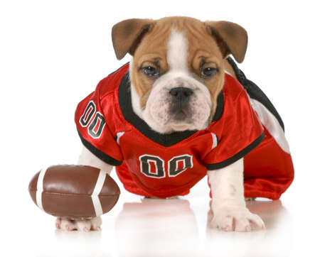 football dog - english bulldog puppy wearing football jersey isolated on white background - 7 weeks old photo