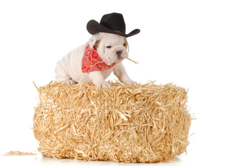 country dog - english bulldog puppy sitting on a bale of straw isolated on white background - 7 weeks old photo