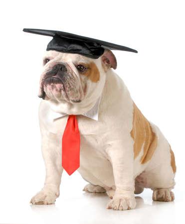 Mascota de graduación - bulldog Inglés lleva gorro de graduación y corbata roja que se sienta en el fondo blanco - un año de edad Foto de archivo - 20310152