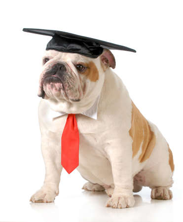 old english: pet graduation - english bulldog wearing graduation cap and red tie sitting on white background - one year old Stock Photo
