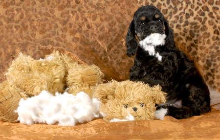 perro comiendo: cachorro travieso - cocker spaniel cachorro desgarrando peluche - 7 semanas de edad