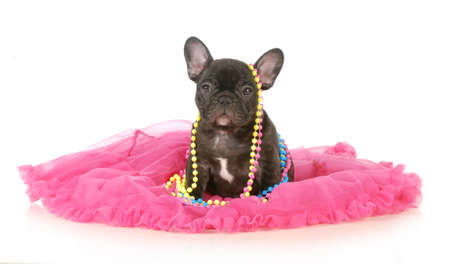 regal: cute female puppy - french bulldog seven weeks old