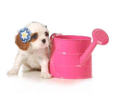 barrettes: carino cucciolo - femmina cavalier king charles cucciolo seduto accanto a un annaffiatoio rosa isolato su sfondo bianco - 7 settimane