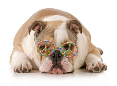 glücklicher Hund - Englisch Bulldogge Tragen Friedenszeichen Gläser Festlegung auf weißem Hintergrund Standard-Bild