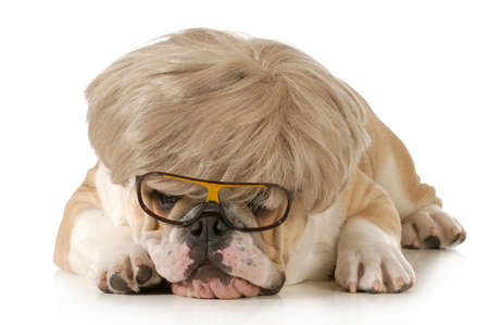 funny dog - english bulldog wearing silly wig and glasses isolated on white background photo