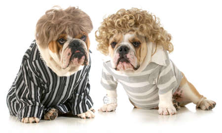 humanized dogs - two english bulldogs wearing wigs and dressed in clothing isolated on white background photo