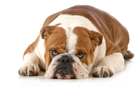 mad dog - english bulldog laying down with sour expression isolated on white background  Stock Photo