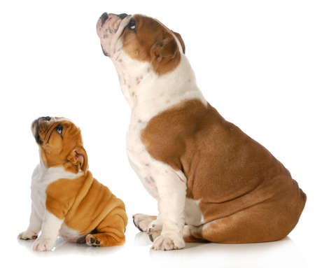 two dogs looking up - two english bulldogs sitting side profile looking upwards isolated on white background photo