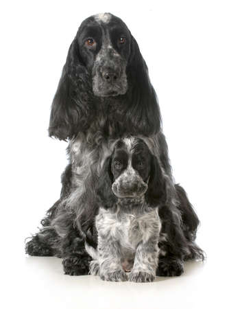 english cocker spaniel: dog mother and puppy - english cocker spaniel mother and puppy - 7 weeks old Stock Photo