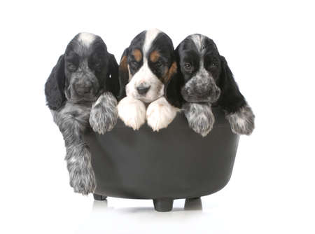 litter: litter of puppies - three english cocker spaniel puppies in a black kettle isolated on white background - 7 weeks old Stock Photo